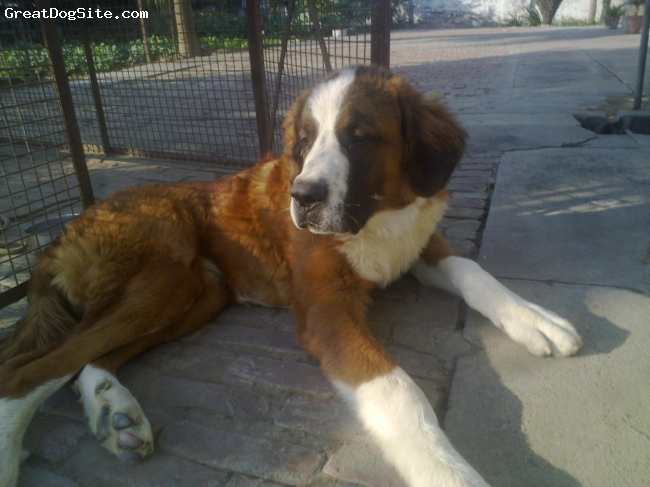 Saint Bernard, 9 months, brown and white, he is so cool,friendly